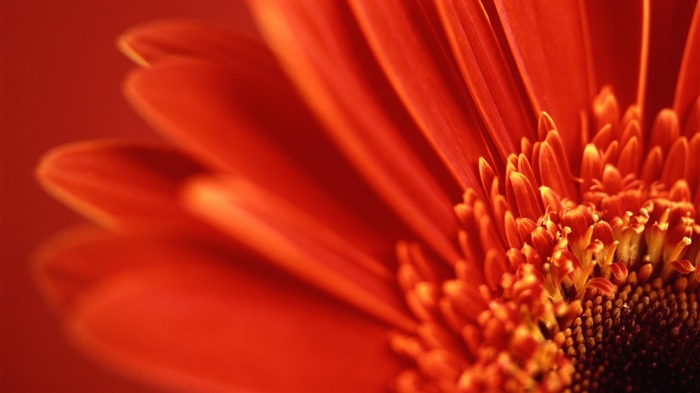 red gerbera daisy-Flowers macro photography wallpaper Views:3882