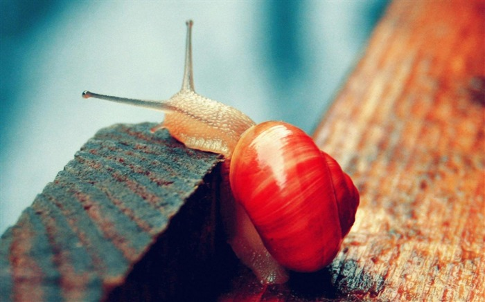 red snail-Animal photography wallpaper Views:6736