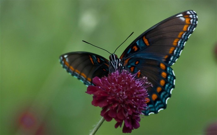 swallowtail butterfly-Animal photography wallpaper Views:4901