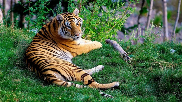 tiger resting-Animal photography wallpaper Views:4365