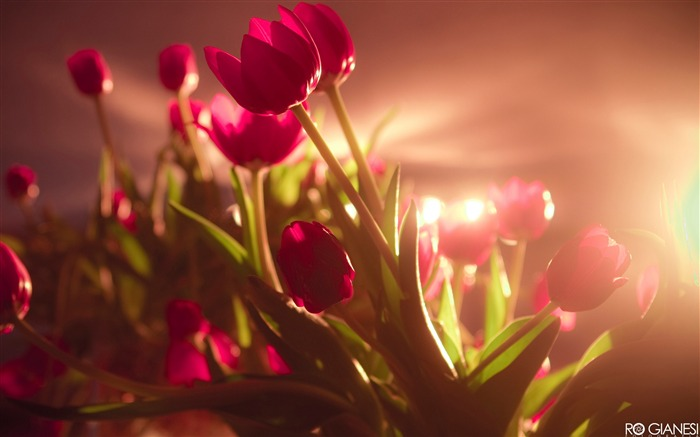 vibrant red tulips-Flowers macro photography wallpaper Views:3610