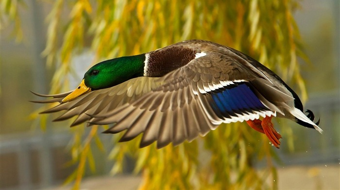 wild duck-Animal photography wallpaper Views:2803