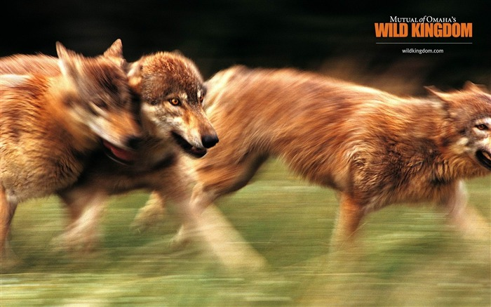 wolves-Animal photography wallpaper Views:3823