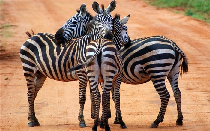 zebras-Animal photography wallpaper Views:3991