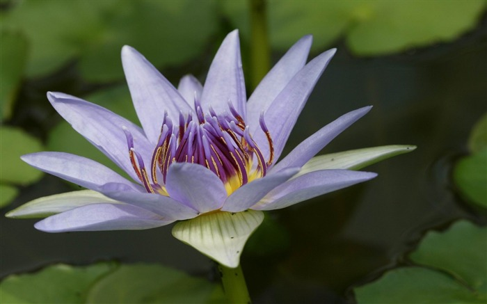 Beautiful water lily-Flowers photography Wallpaper Views:4384