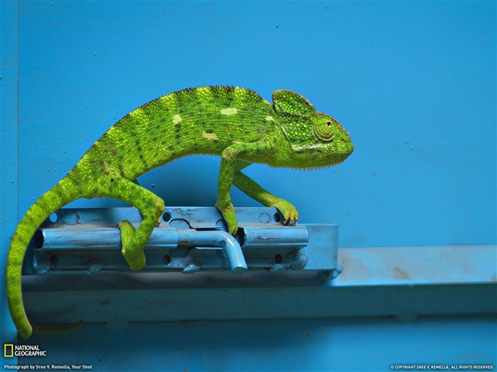 Chameleon India-National Geographic wallpaper Views:9648