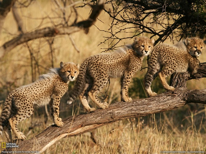 Cheetah Cubs South Africa-National Geographic wallpaper Views:18736