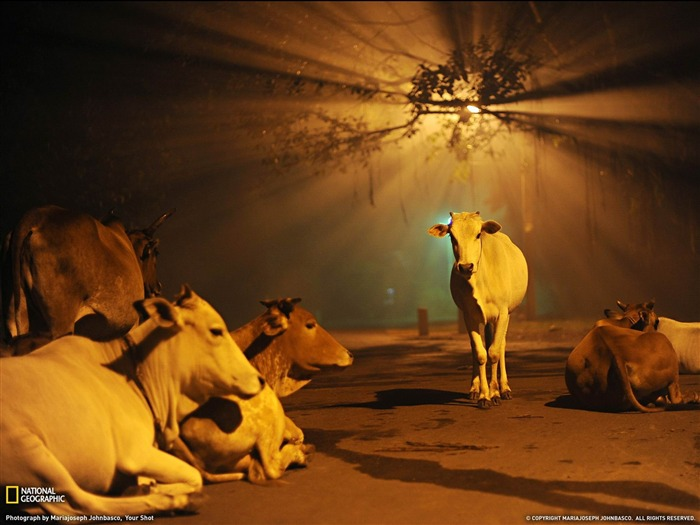 Cows India -National Geographic wallpaper Views:21473