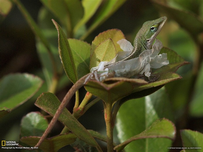 Green Anole Texas-National Geographic wallpaper Views:5299