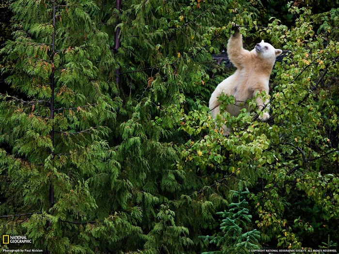 Kermode Bear-National Geographic wallpaper Views:6335