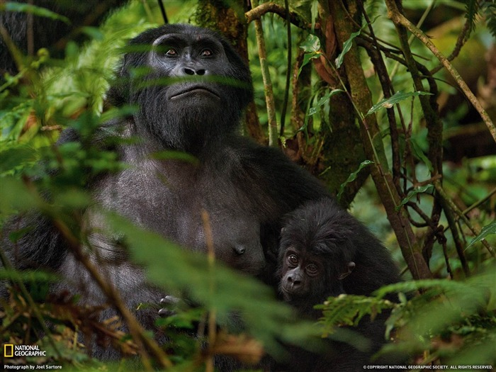 Mountain Gorillas Africa-National Geographic wallpaper Views:7489