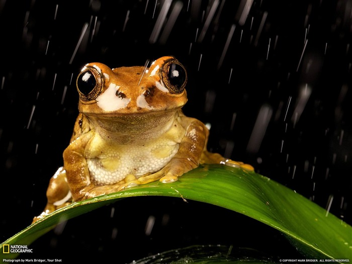 Peacock Tree Frog-National Geographic wallpaper Views:6867