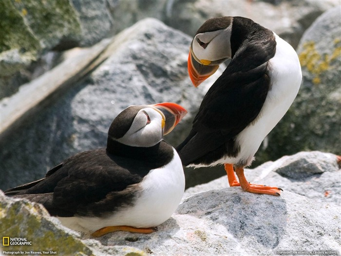 Puffins Maine-National Geographic wallpaper Views:5620