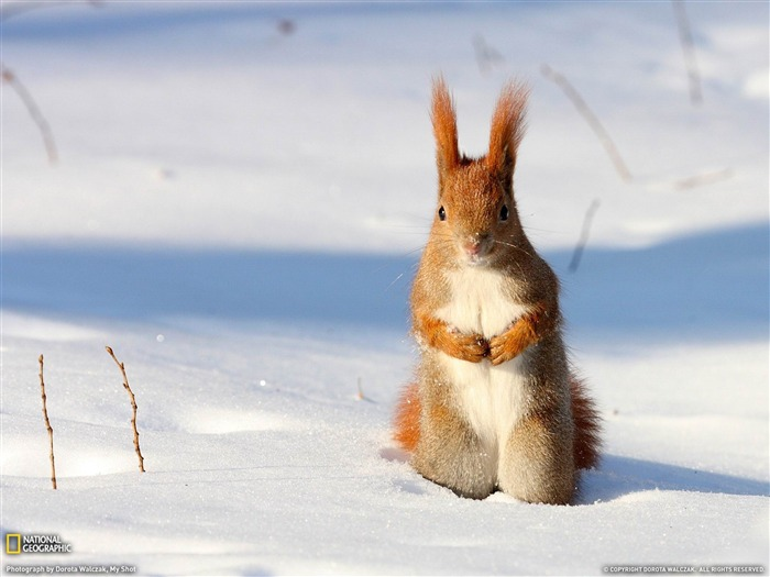 Red Squirrel Poland-National Geographic wallpaper Views:6925