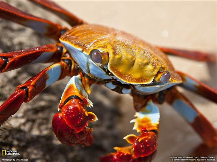 Sally Lightfoot Crab Galapagos Islands-National Geographic wallpaper Views:11552