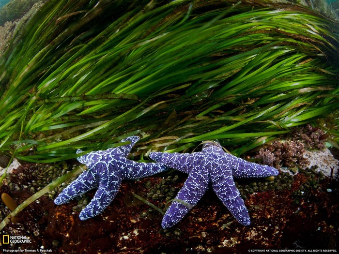 Sea Stars British Columbia-National Geographic wallpaper Views:4188