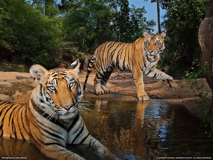 Tigers India-National Geographic wallpaper Views:5249