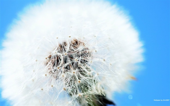 White dandelion-Flowers photography Wallpaper Views:5659