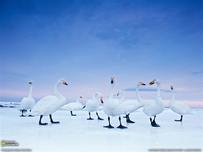 Whooper Swans Hokkaido-National Geographic wallpaper Views:6918