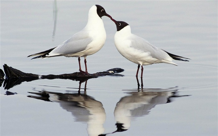 black headed gulls-Animal photography wallpaper Views:5364