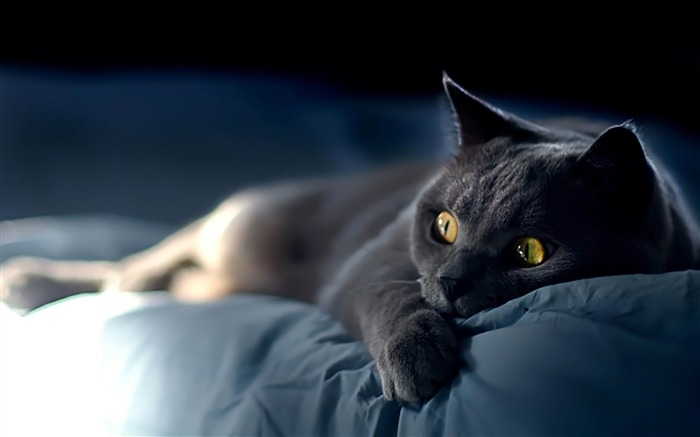 cat on blue sheets-Cat photography wallpaper Views:12318