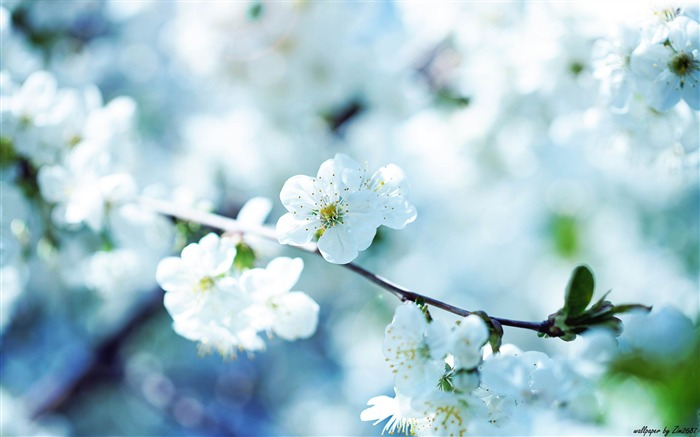 cherry blossom-Flowers photography Wallpaper Views:8753