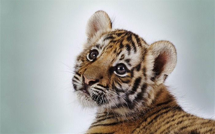 cute tiger cub-Animal photography wallpaper