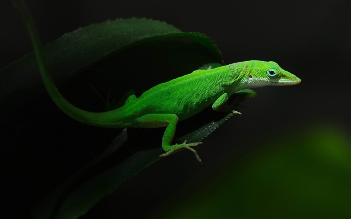 gecko-Animal photography wallpaper Views:6291