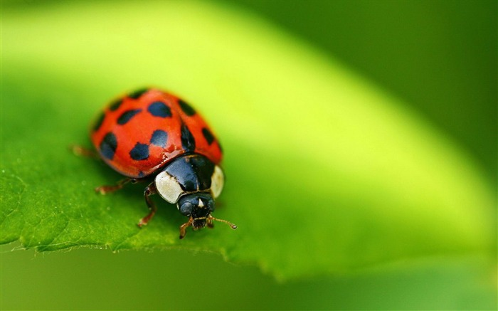 ladybug red-Animal photography wallpaper Views:5106