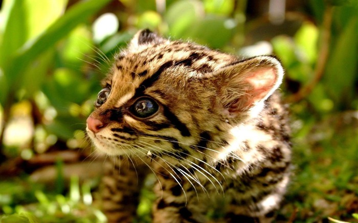 ocelot cub-Animal photography wallpaper Views:7591