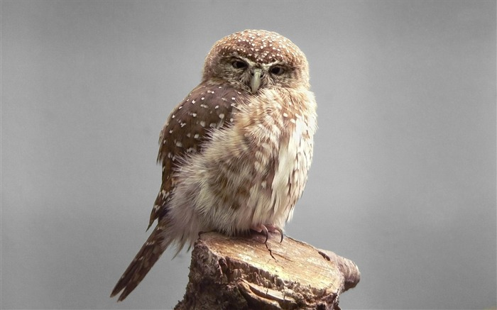 owl gray-Animal photography wallpaper Views:7932