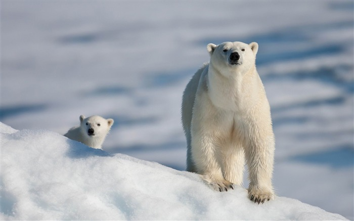 polar bear and baby-Animal photography wallpaper Views:28520