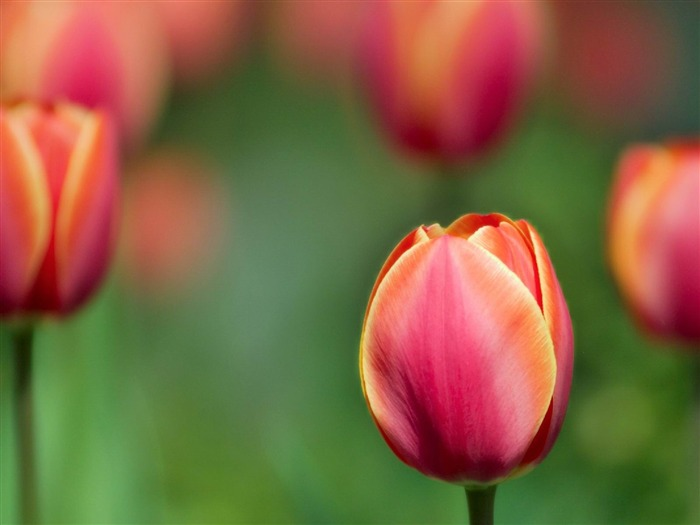 red tulip -Flowers photography Wallpaper Views:3255