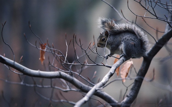 squirrel in tree-Animal photography wallpaper Views:5561