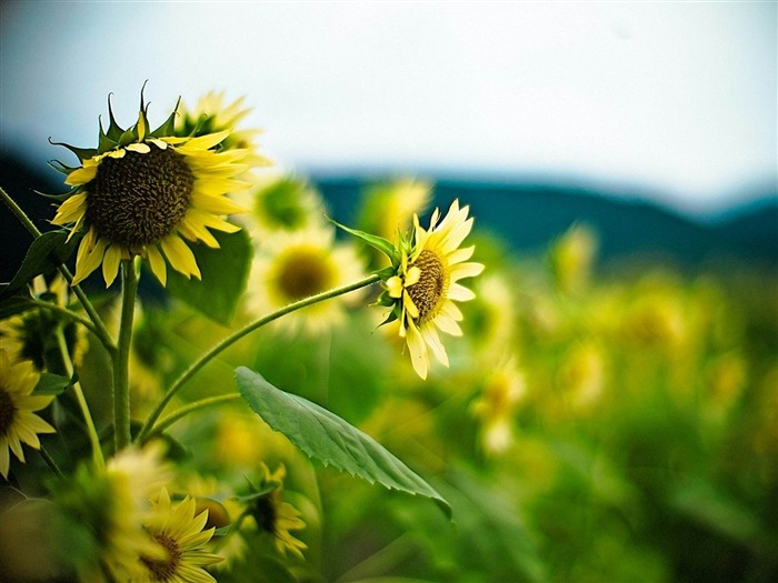 sunflower-Flowers photography Wallpaper Views:2808