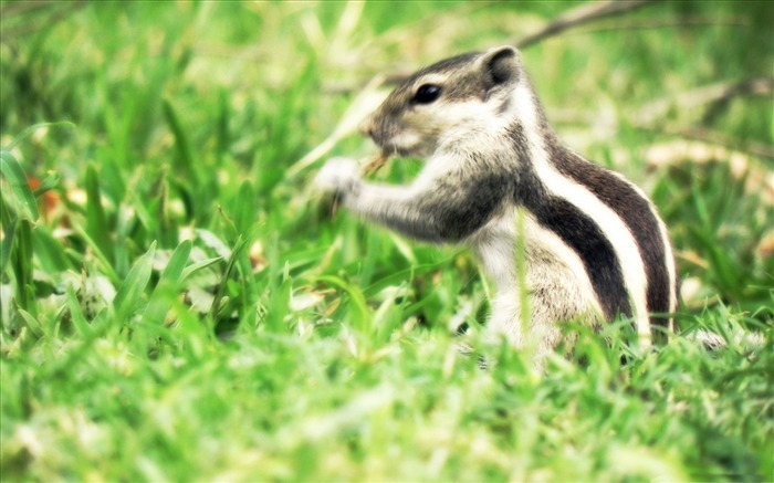 the real chipmunk-Animal photography wallpaper Views:6522