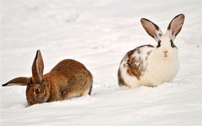 two rabbits-Animal photography wallpaper Views:4894