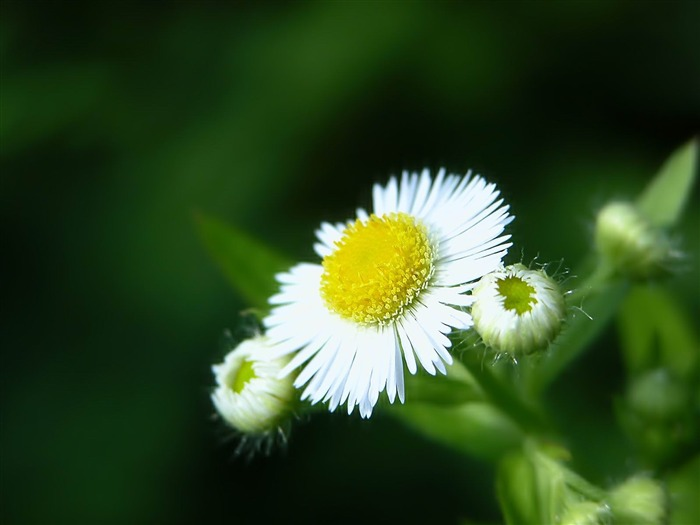 white flower close up-Flowers photography Wallpaper Views:3305