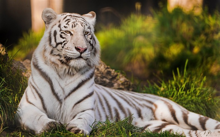 white tigers laying down-Animal photography wallpaper Views:12458