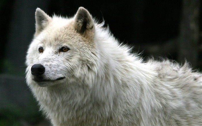 white wolf-Animal photography wallpaper Views:22167