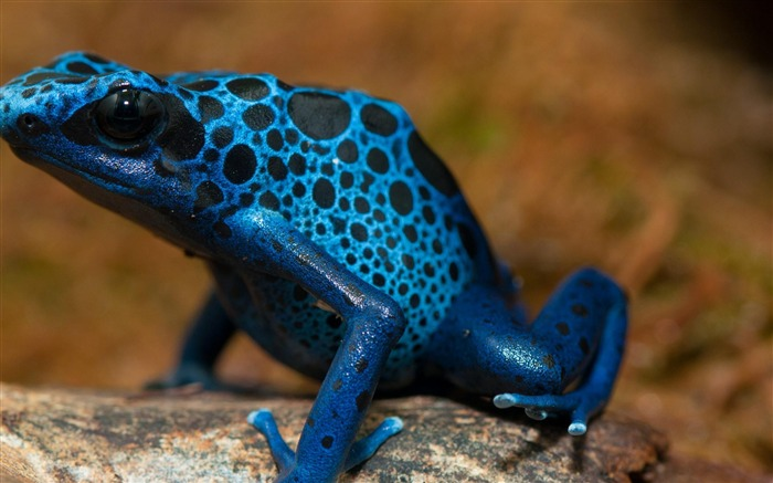 Frog Blue Poison Arrow Frog-Animal wallpaper selection Views:8682