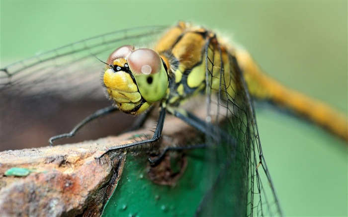 Insect Dragonfly-Animal wallpaper selection Views:5047