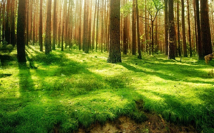 Sunshine through Forest Desktop wallpaper Views:17677