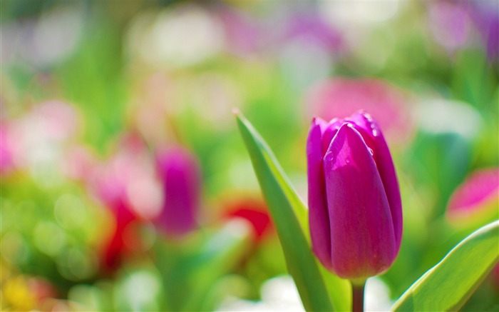 beauty purple tulip-flowers photography wallpaper Views:5931