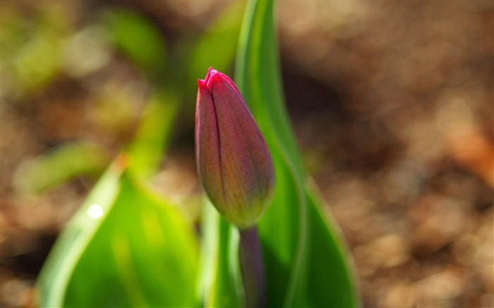 early spring tulip-flowers photography wallpaper Views:5470