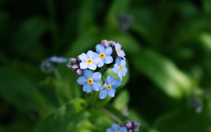 forget me not-flowers photography wallpaper Views:5195