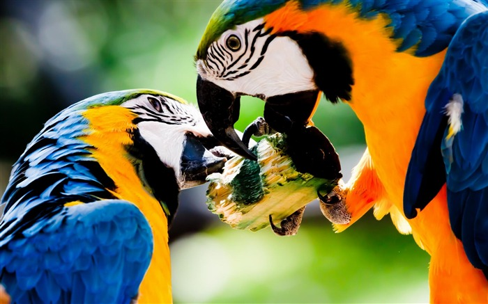 ird Blue and yellow Macaw-Animal wallpaper selection Views:7049