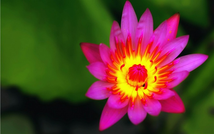 red nymphaea-flowers photography wallpaper Views:5495