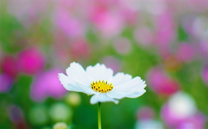 white cosmos-flowers photography wallpaper Views:3898