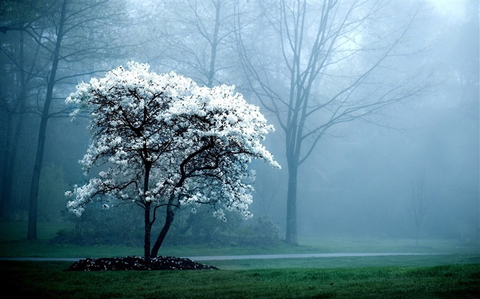 white magnolia tree-Nature Landscape Wallpaper Views:11531